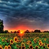 Puzzles with Sunflowers